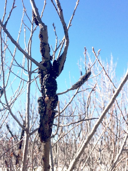 Black knot infected tree