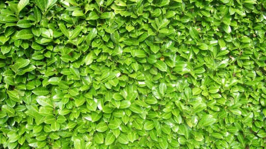 Close-up of a laurel hedge