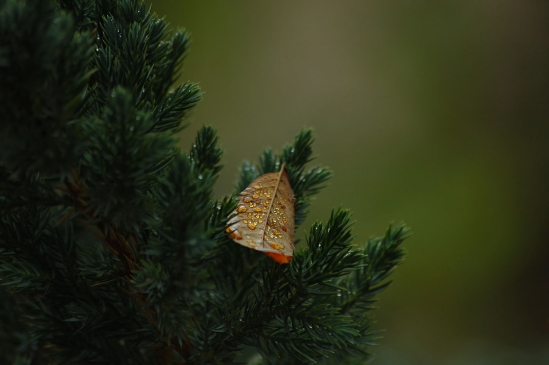 Fallen autumn leaf resting on spruce tree branch