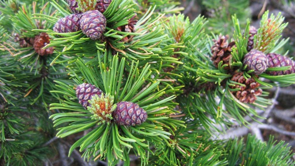 Mugo pine with cones