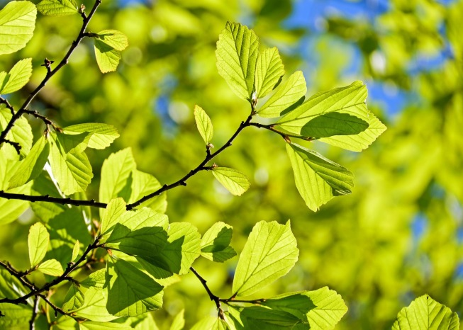 Oak tree leaves and branches in spring