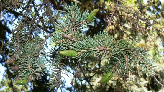 White spruce needles and cones
