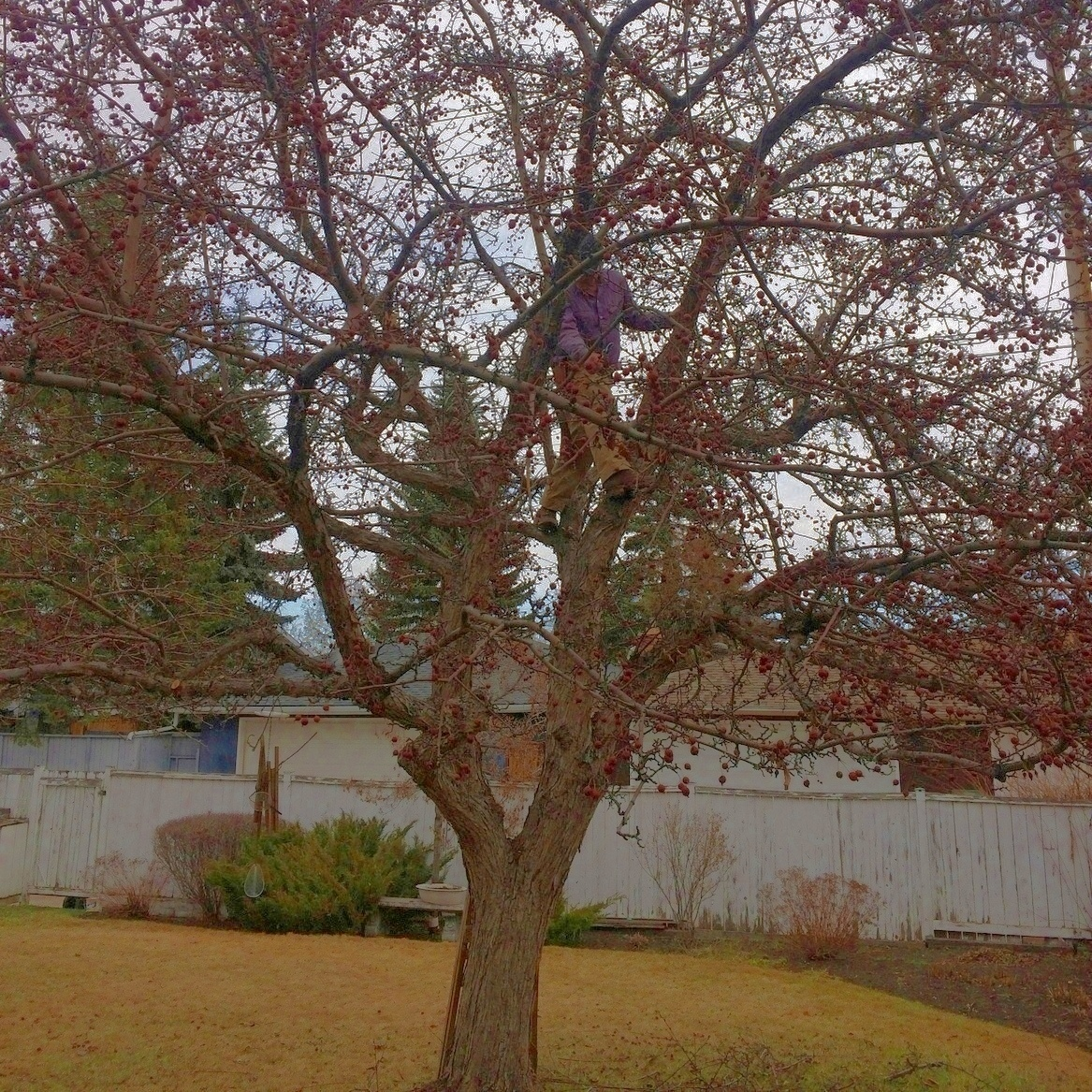 Kevin Lee Pruning in Calgary KRL Tree Service 6835 Bow Cres NW, Calgary, AB T3B 2C9 403-270-2996